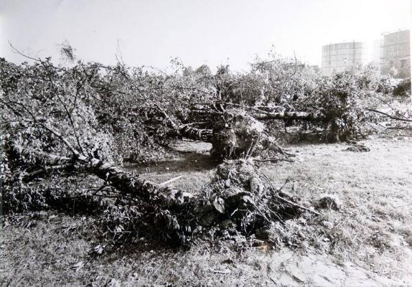 Oppauer Park 'liefert' nach der Eingemeindung 1938 Bäume für Ludwigshafen