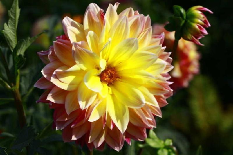 Im Garten des Eingangsbereiches eine prachtvolle Dahlie , Symbol des Festes.