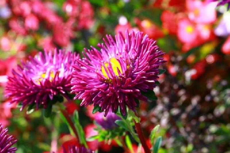 Lila Dahlien strahlen weit aus dem Blumenbeet hervor
