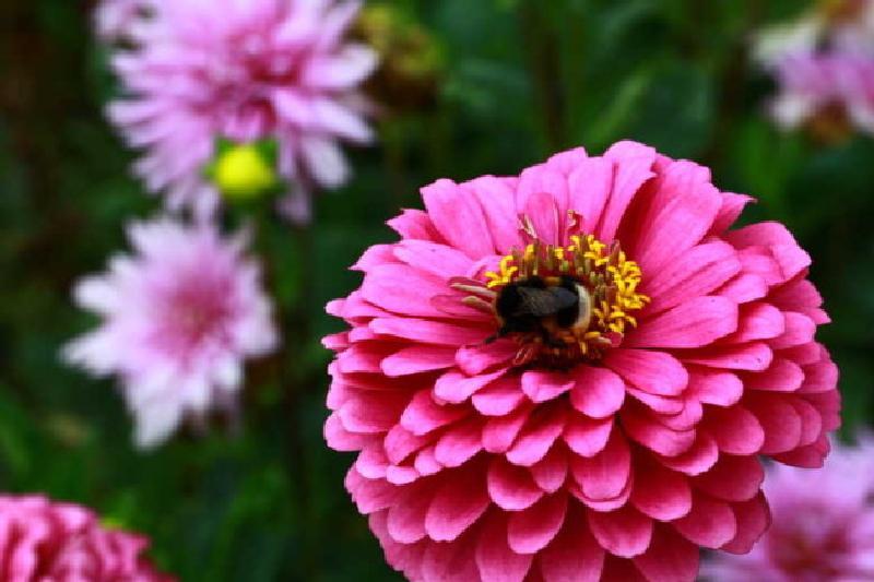 Eine rosa Zinie wird von einer Hummel besucht