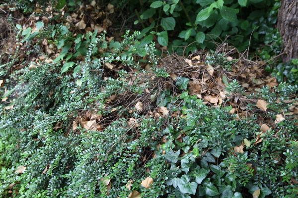 Laub im Gebüsch vom letzten (oder vorletzten?) Herbst.