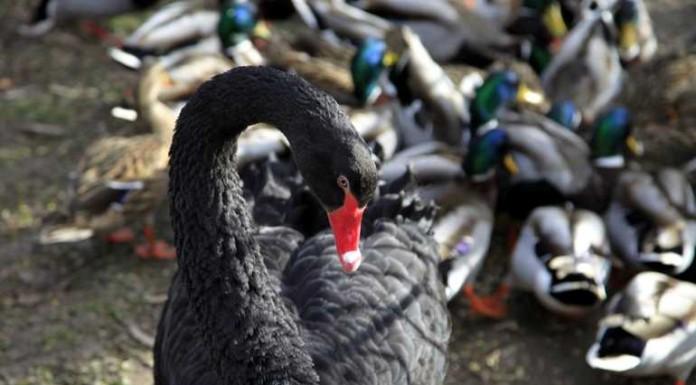 Der Trauerschwan oder Schwarzschwan ist der einzige fast völlig schwarze Schwan und besitzt den längsten Hals aller Schwäne
