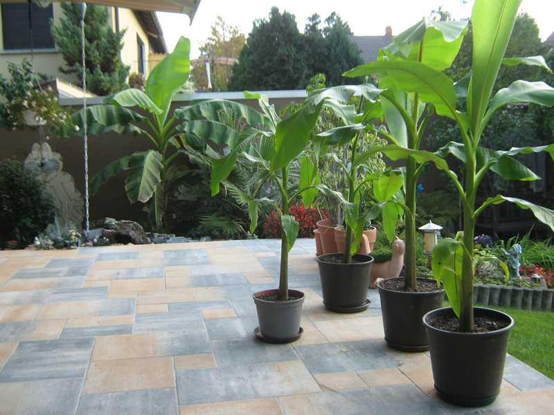Die ersten Ableger wurden 2014 im September weiter gezüchtet. Im Hintergrund ist die gewachsene erste Bananenpflanze gut zu sehen | Foto: Fuchs