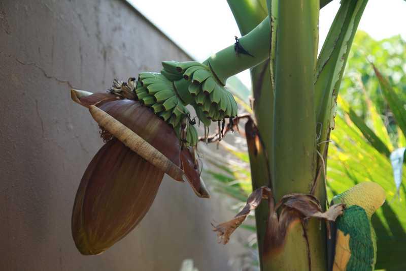 Die Bananen (Musa) nannte man früher auch Paradiesfeigen. Sie gehören zur Pflanzengattung der Familie der Bananengewächse und zur Ordnung der Ingwerartige (Zingiberales).