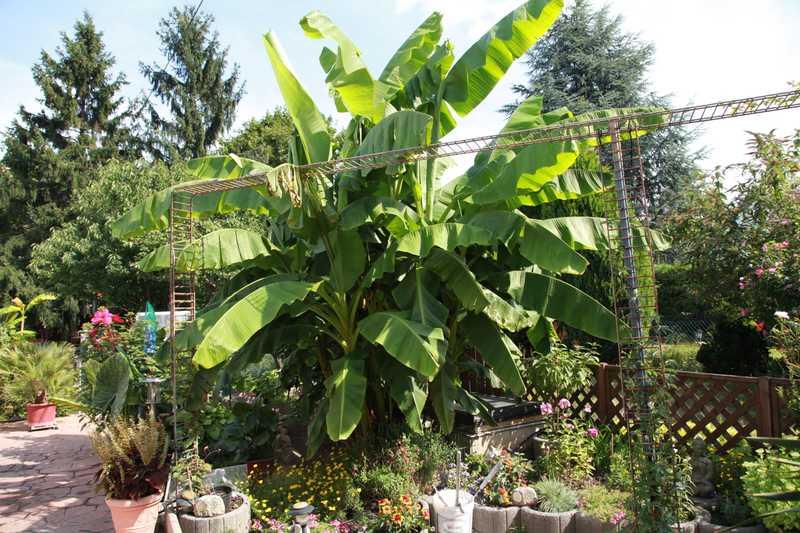 prachtst ck im gepflegten garten die bananenpflanze bei. Black Bedroom Furniture Sets. Home Design Ideas