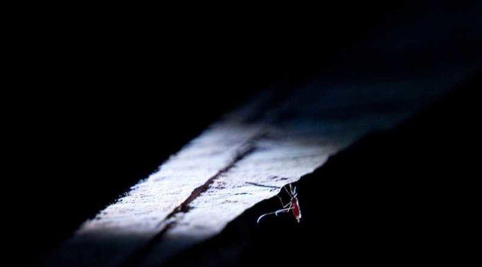 Moskitos sind das gefährlichste Tier auf der Erde – sie übertragen Krankheiten wie Malaria, Dengue, Zika und Gelbfieber und verursachen mehr Todesfälle als jedes andere Lebewesen. Foto – Hantzschel/BASF