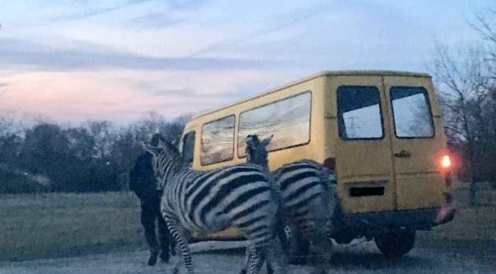 ausgebüxte Zebras / Foto: Polizei